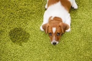 potty training Arlington TX, Sarah Lowell Dog Training, Jack Russell puppy training